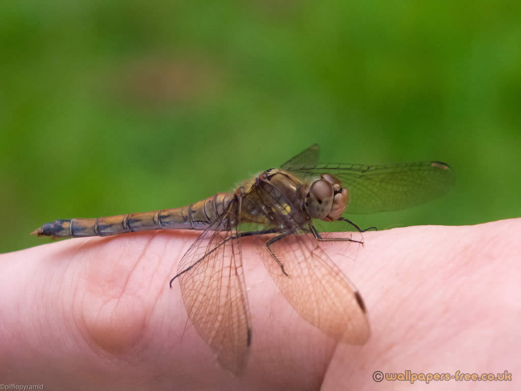 Dragonfly On Finger