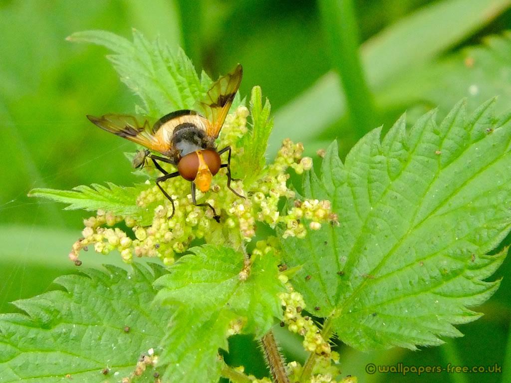 Bee Mimic Pellucid Fly