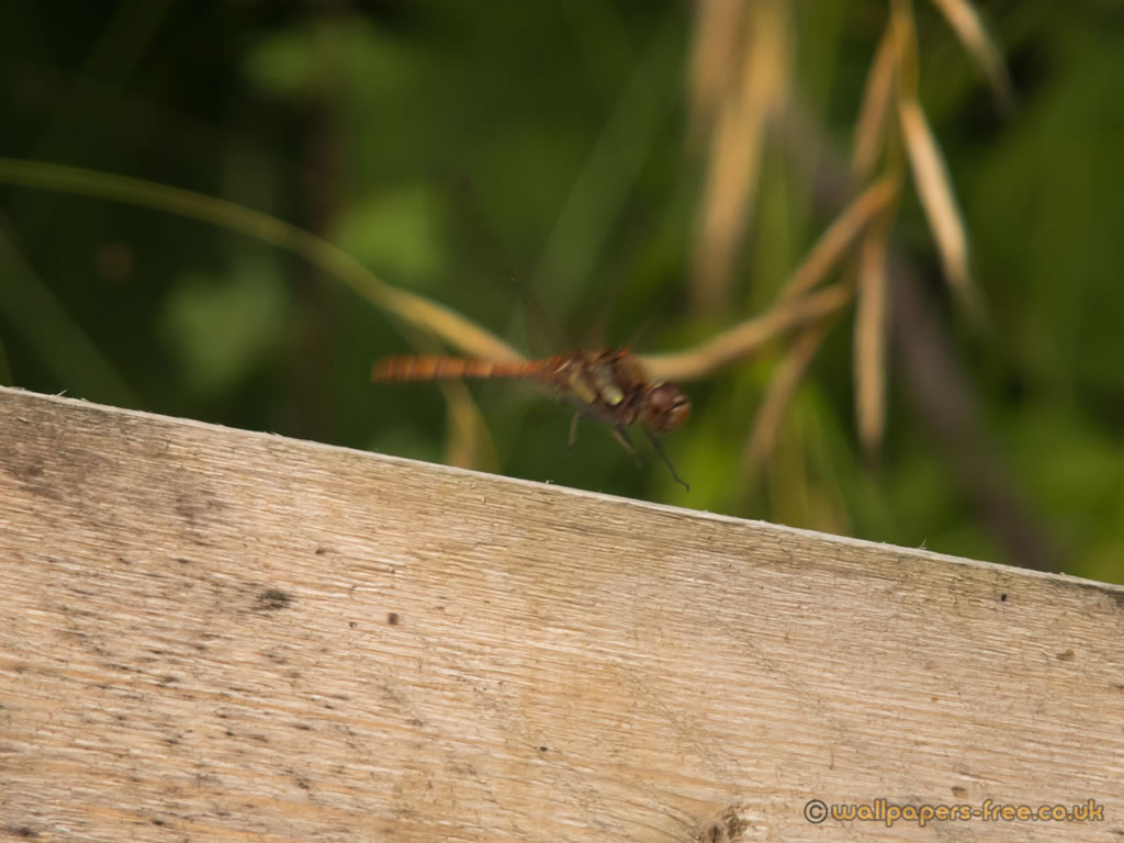 Common Darter Dragonfly Taking Off