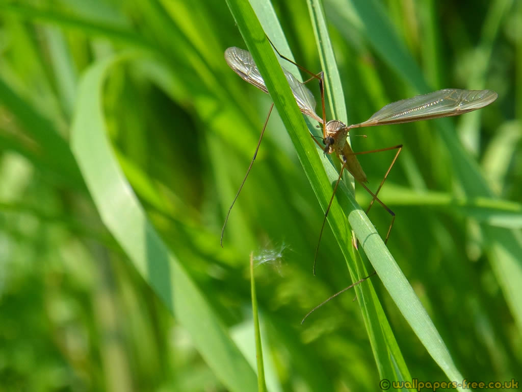 Crane Fly In The Grass