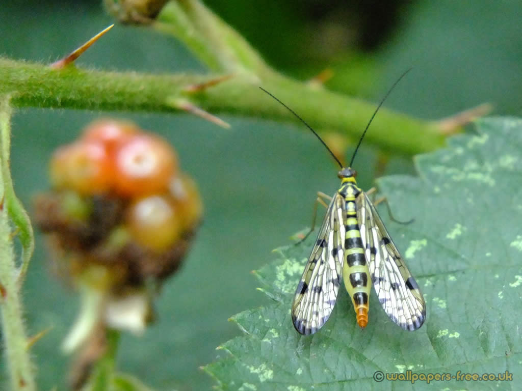Female Scorpion Fly From Behind