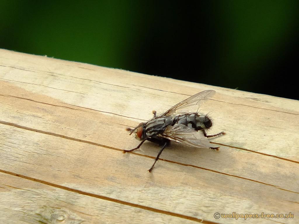 Flesh Fly Found Wood