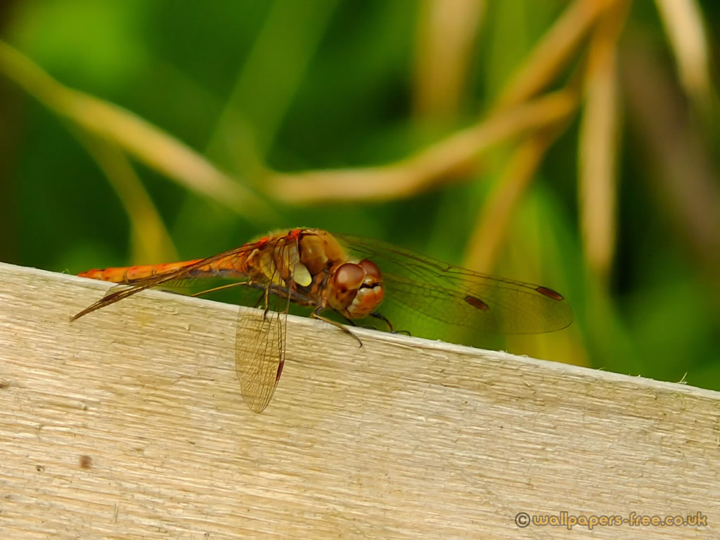 Red Common Darter Dragonfly