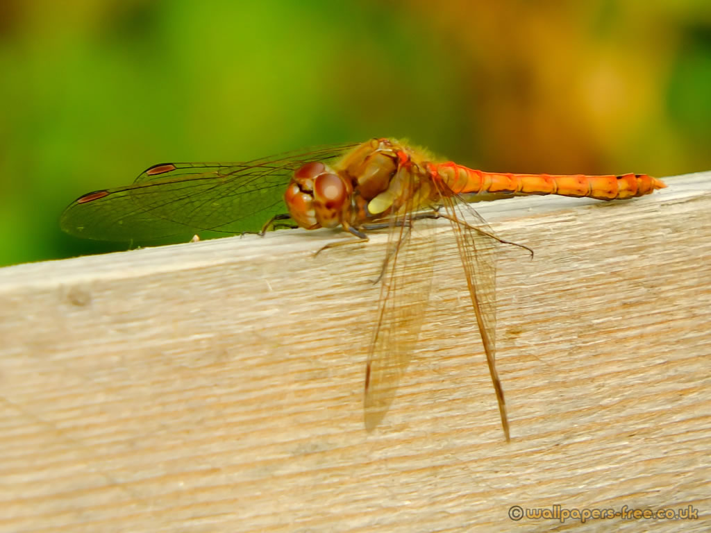 Red Darter Dragonfly Looking Up