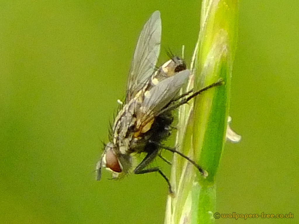 Stable Fly Close Up
