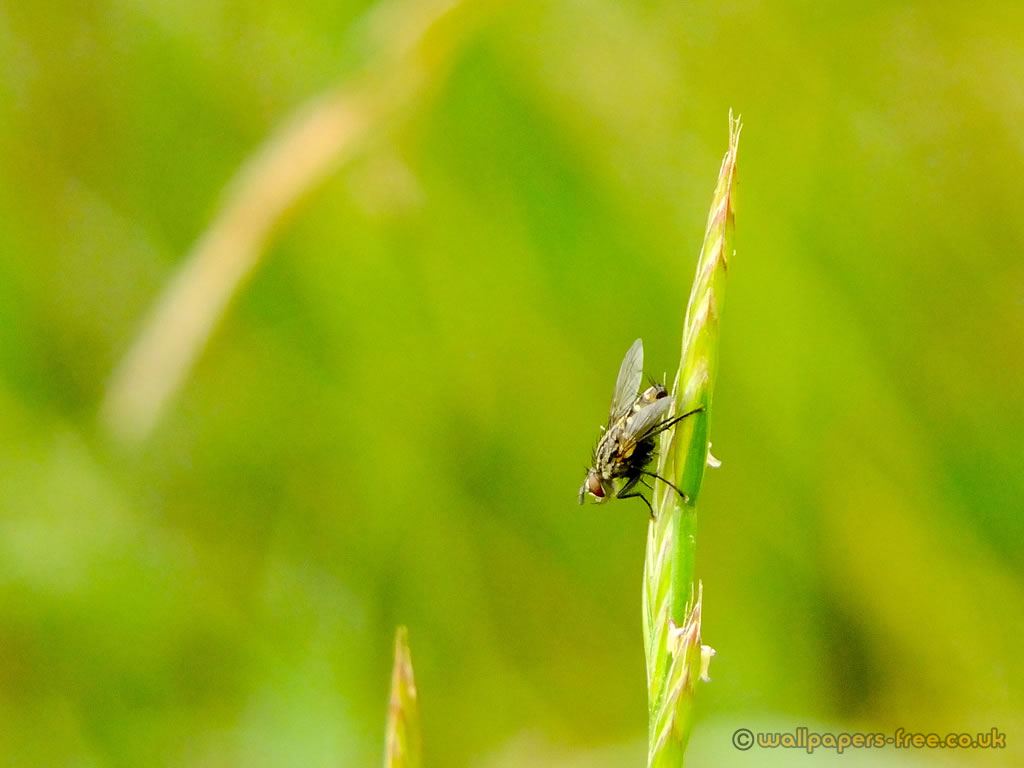 Stable Fly On Grass Strand