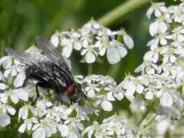 flesh fly on flower