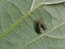 fruit fly on a nettle leaf
