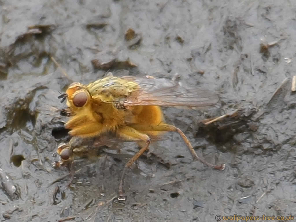 Yellow Dung Fly Mating