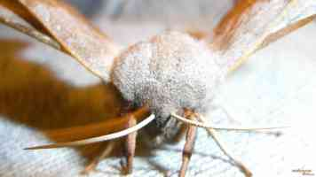 furry moth close up