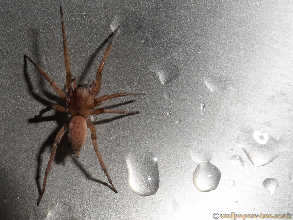 Uk Mouse Spider