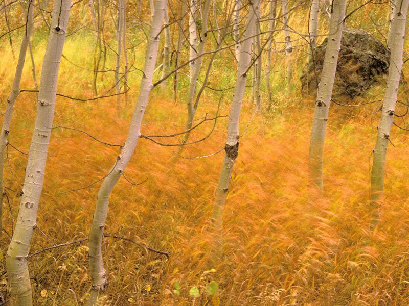 Aspens And Windblown Grasses Idaho