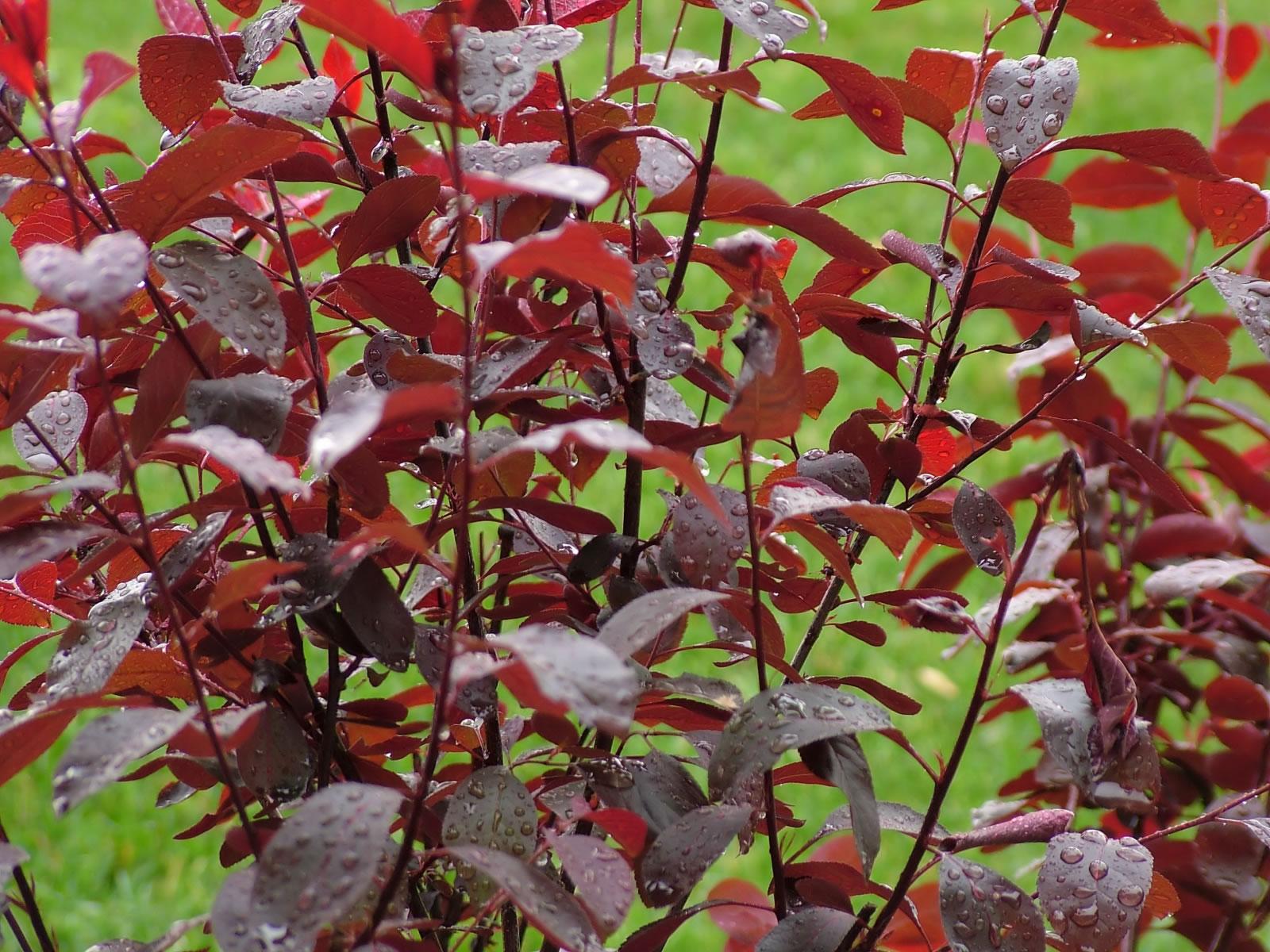 Crimson Shrub After Rainfall