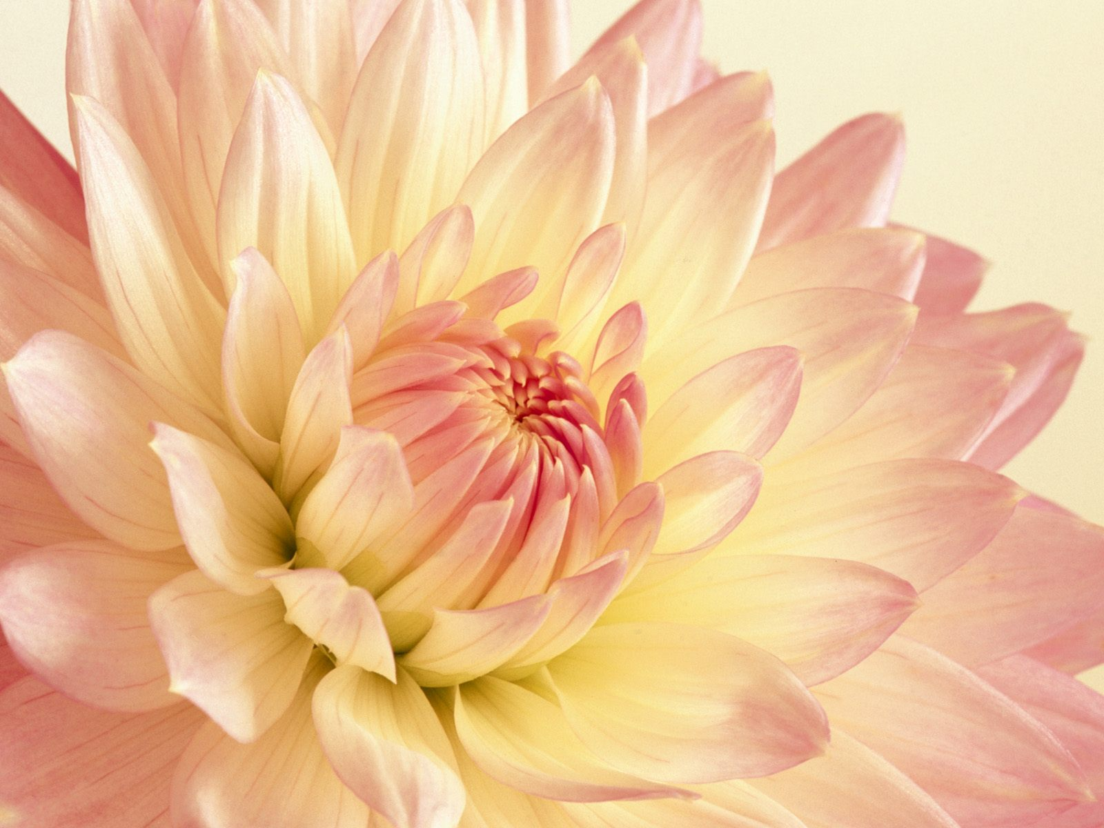 Pale pink and yellow dahlia flowers and plants wallpaper pale pink and yellow dahlia mightylinksfo