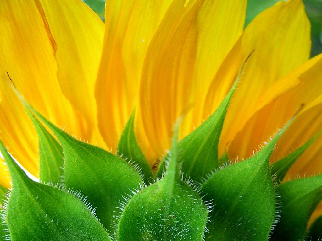 Back Of Sunflower