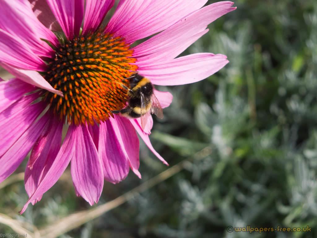 Bee On Purple Coneflower