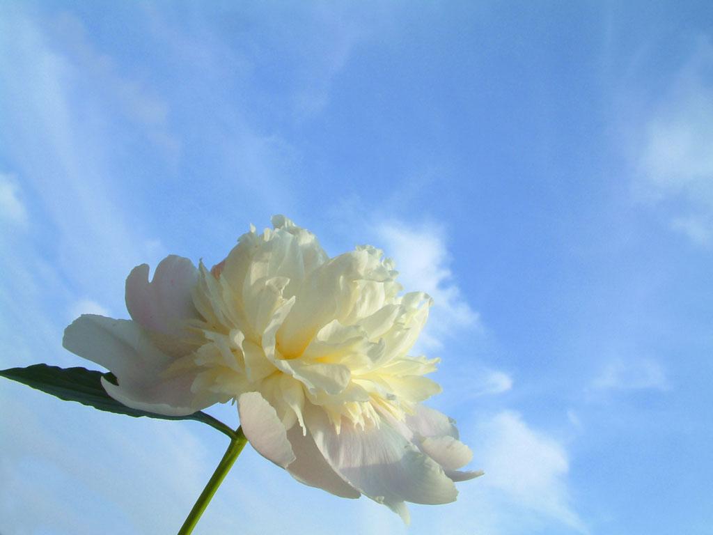 Blue Sky White Flower