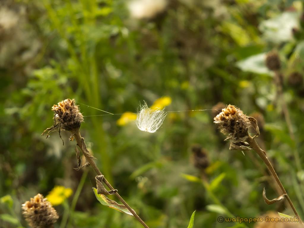 Dandelion Seed In Web