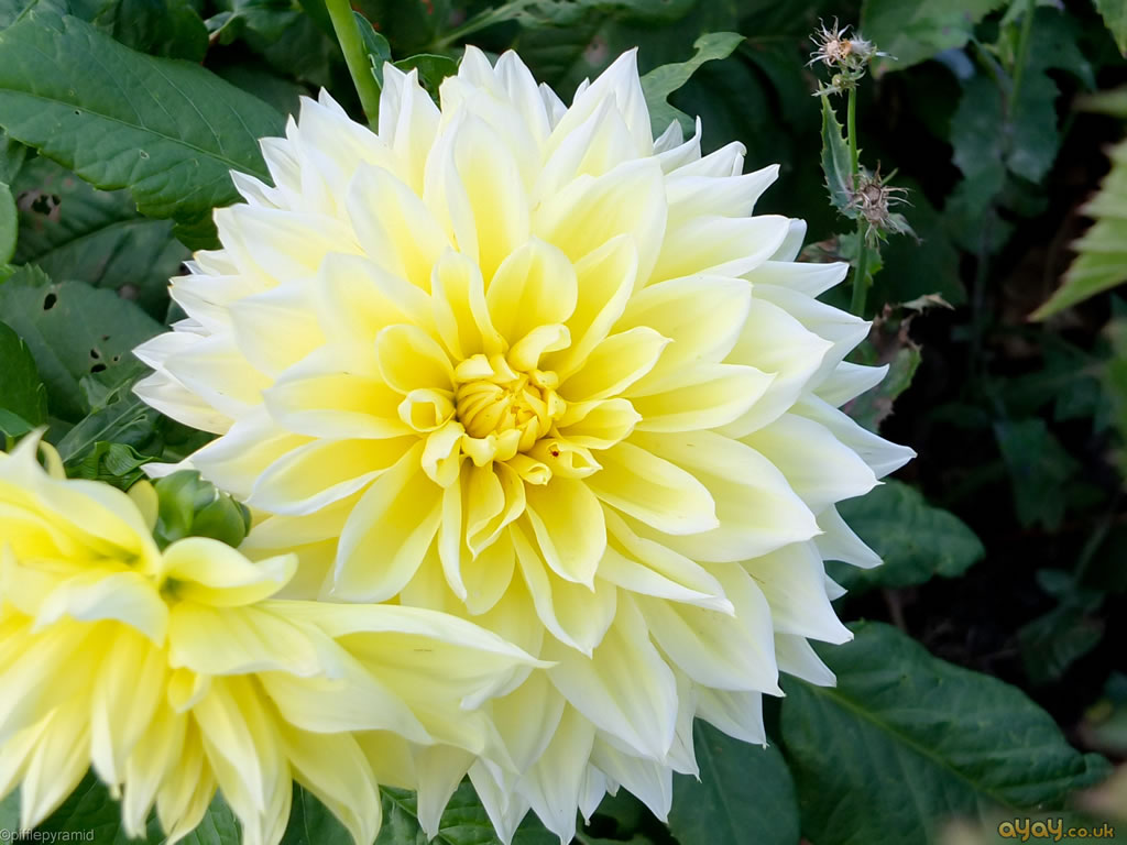 Decorative Yellow And White Double Dahlia Flowers And Plants Wallpaper