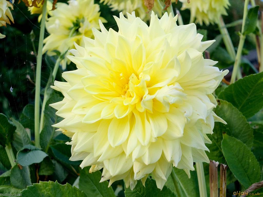 Decorative Yellow Dahlia Flowers And Plants Wallpaper