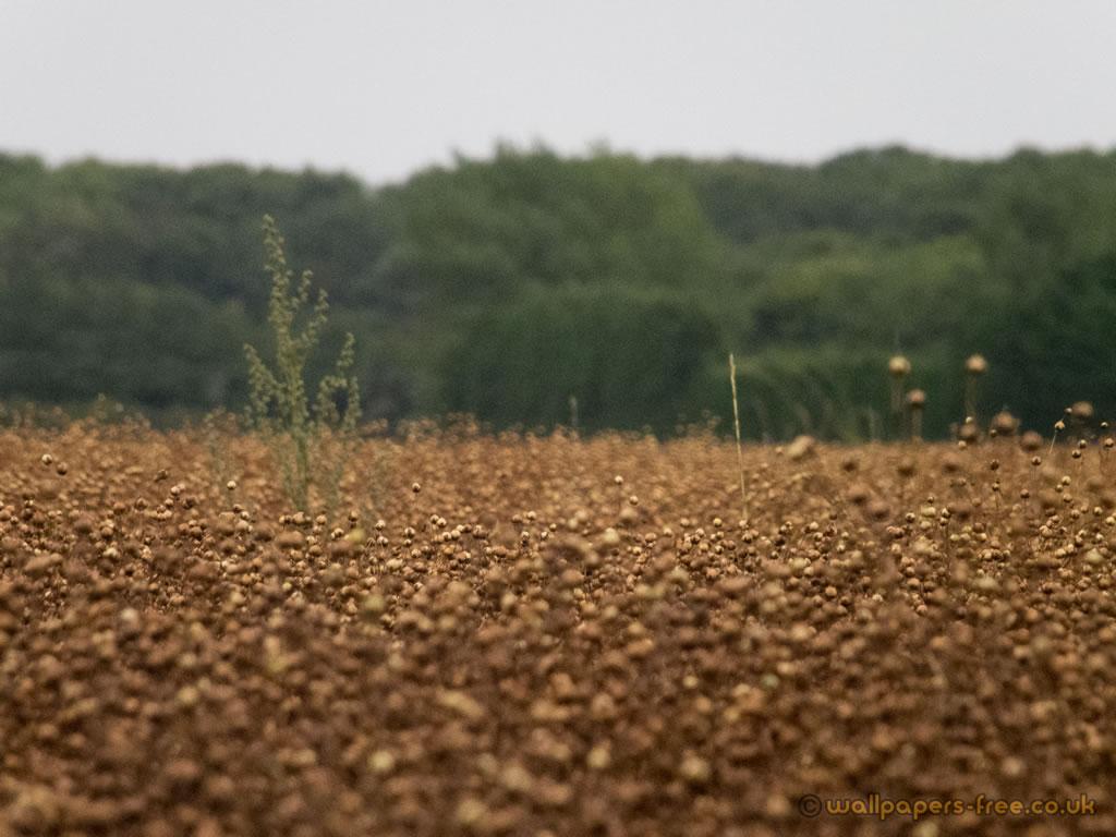 Field Of Flax