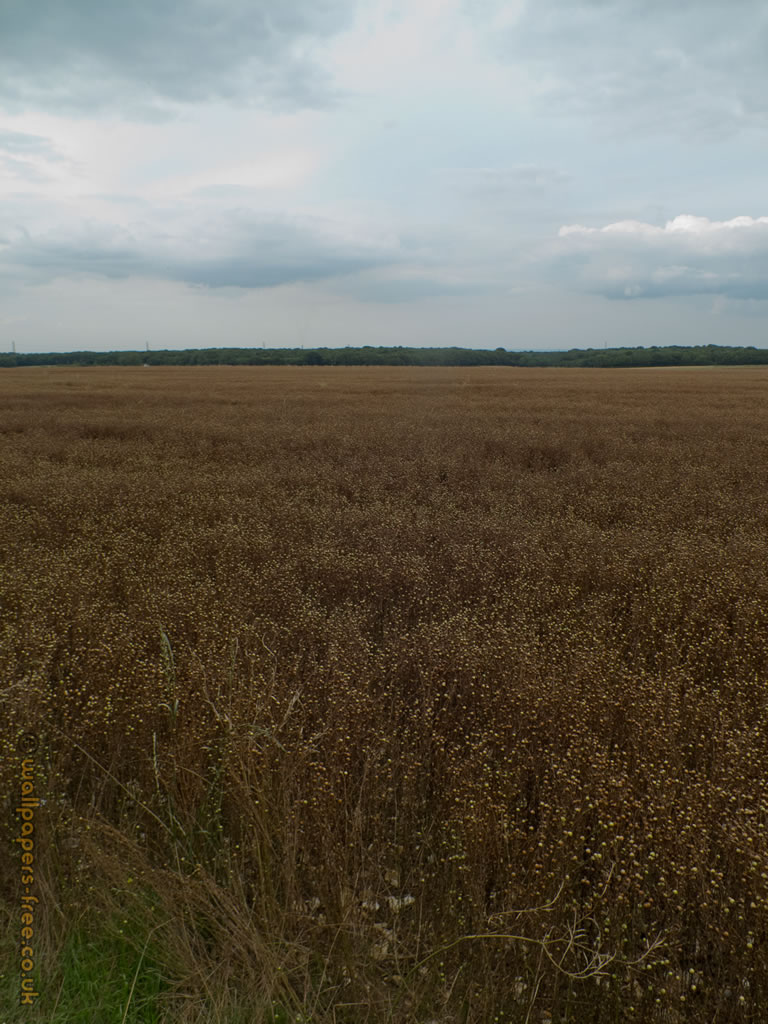 Field Of Linseed On Top Of Kent North Downs