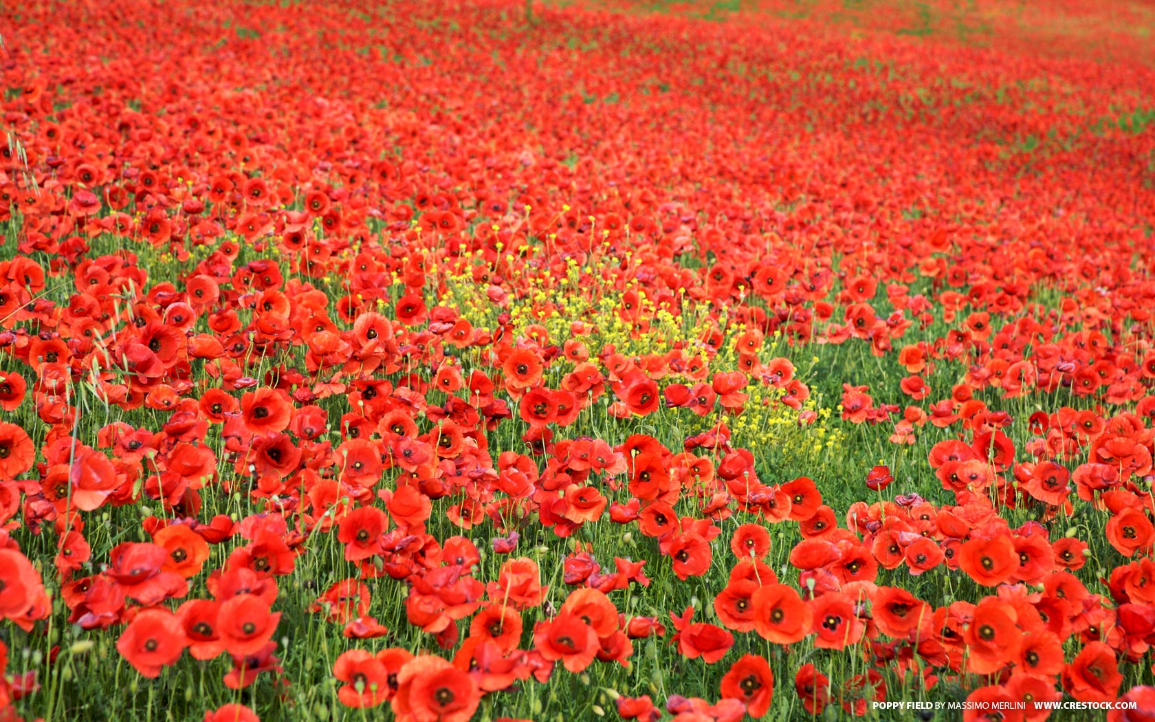 field of poppies - flowers and plants wallpaper