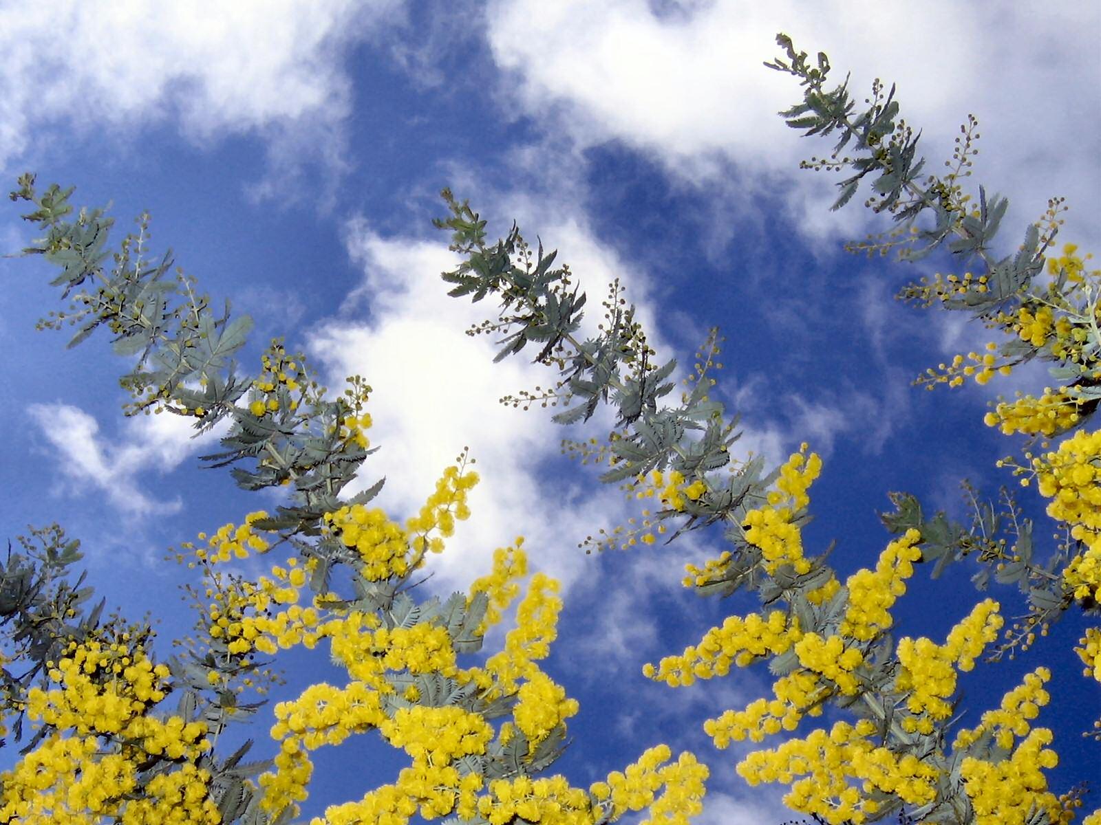 Flowering Wattle