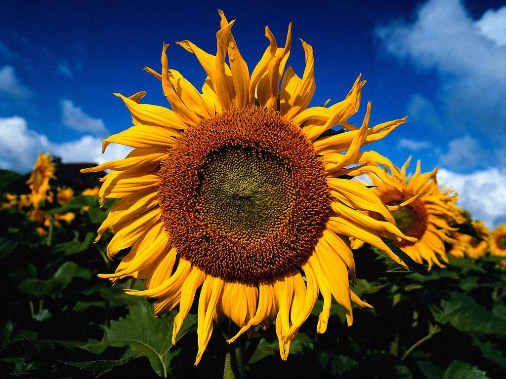 sun flowers and flower - photo #27
