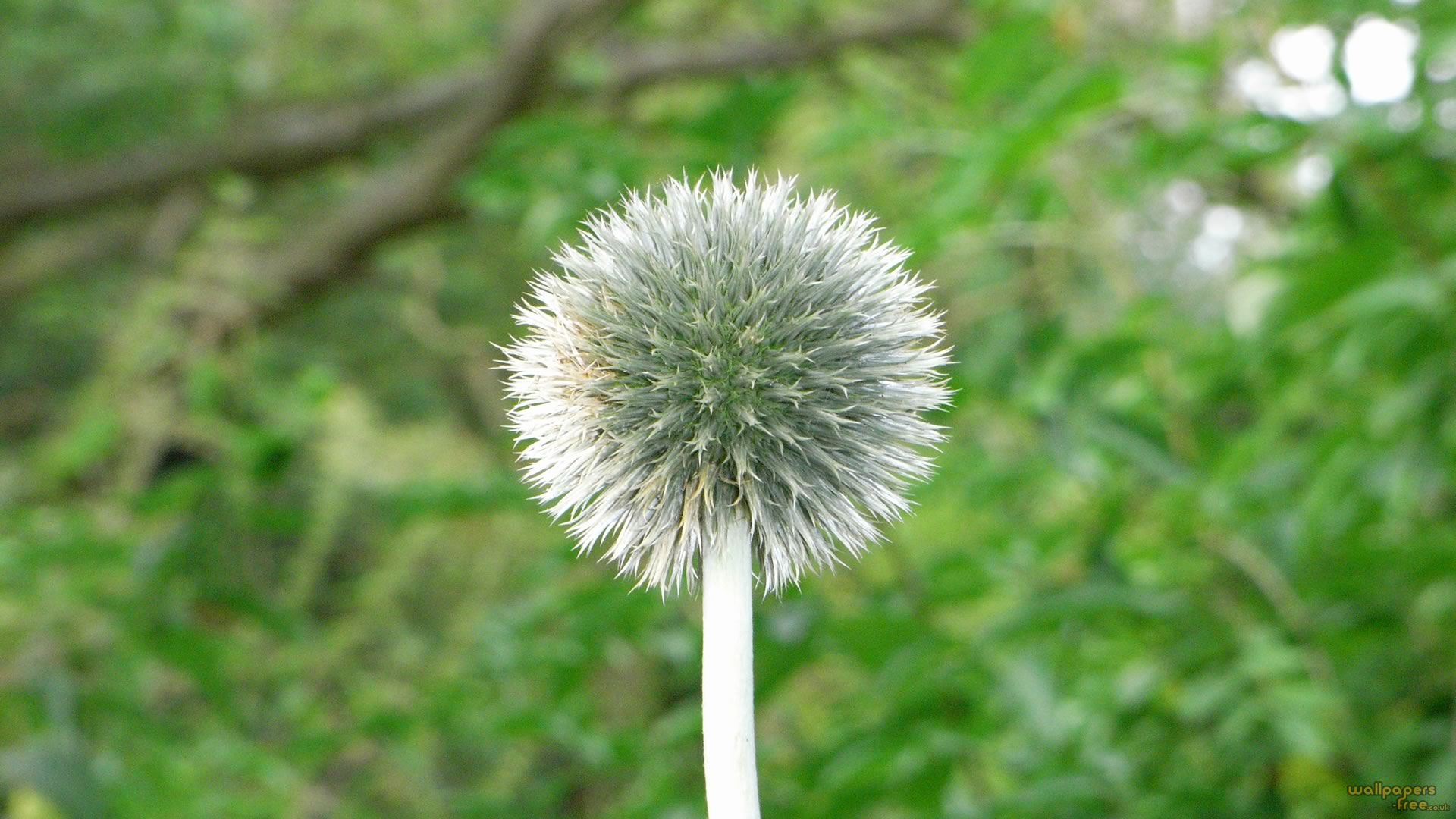 One Thistle