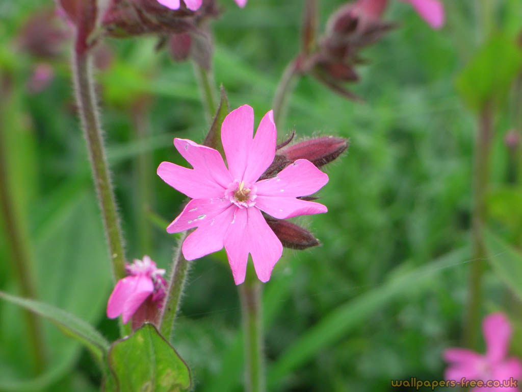 Pink wild flower flowers and plants wallpaper pink wild flower mightylinksfo