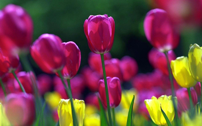 Puple Spring Tulips