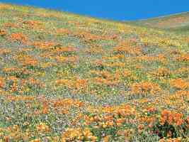 California Poppies and other Spring Wildflowers Tehachapi Mountains California