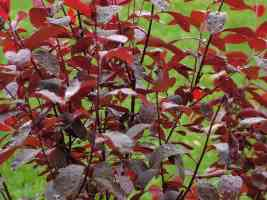 Crimson Shrub after Rainfall