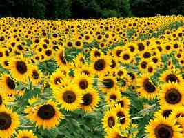 Field of Sunflowers Kentucky