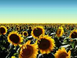 Flowers Sunflowers