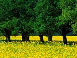 Mustard Flowers Louisville Kentucky