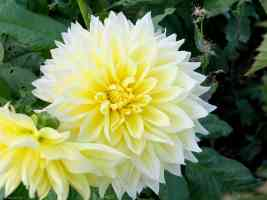 decorative yellow and white double dahlia
