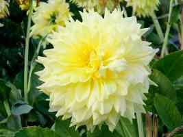 decorative yellow dahlia