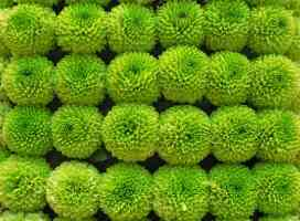 green flowers in columns and rows