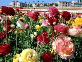 ranunculuses carlsbad california