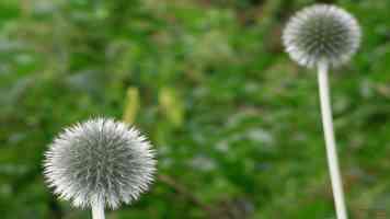 thistles close up