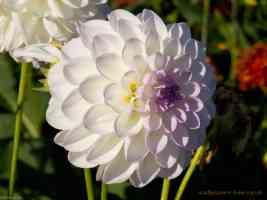 white dahlia with purple tinge