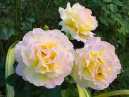 yellow white carnations with pink tinge