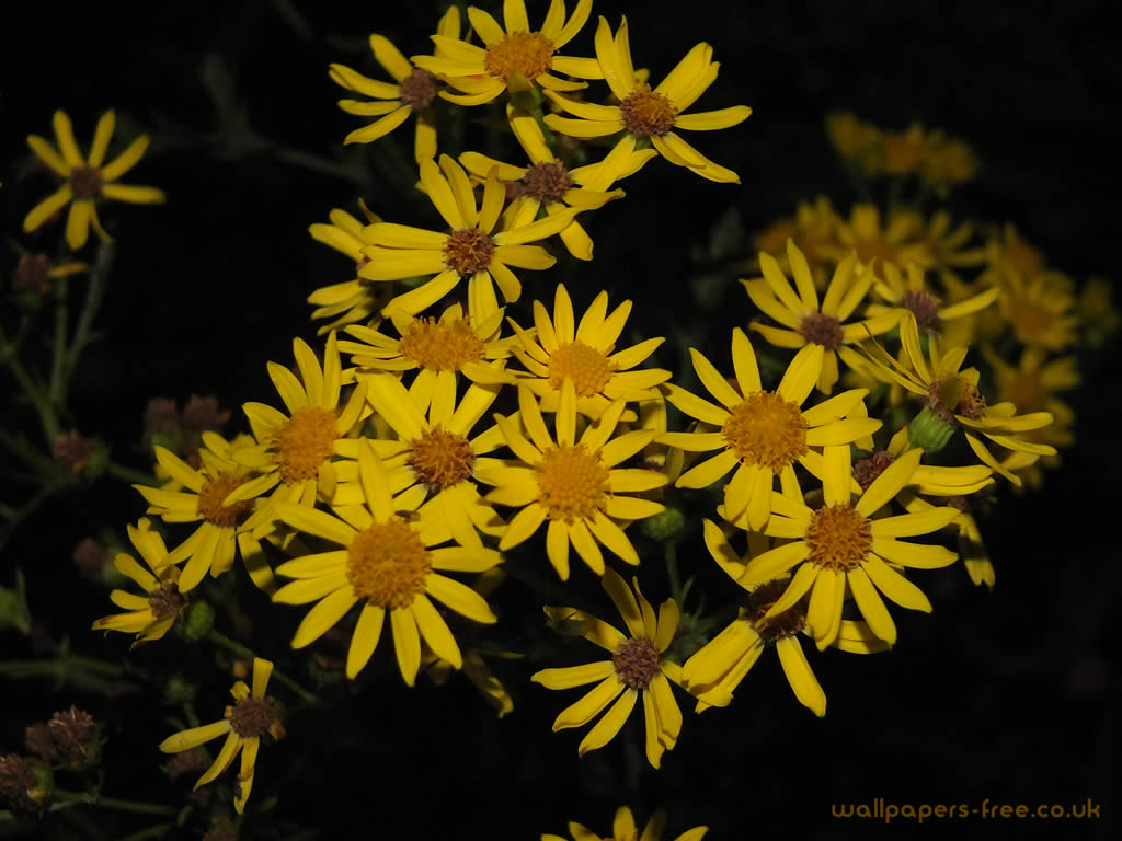 Yellow flowers in the dark flowers and plants wallpaper yellow flowers in the dark mightylinksfo