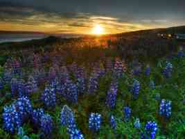 blue wildflower sunrise