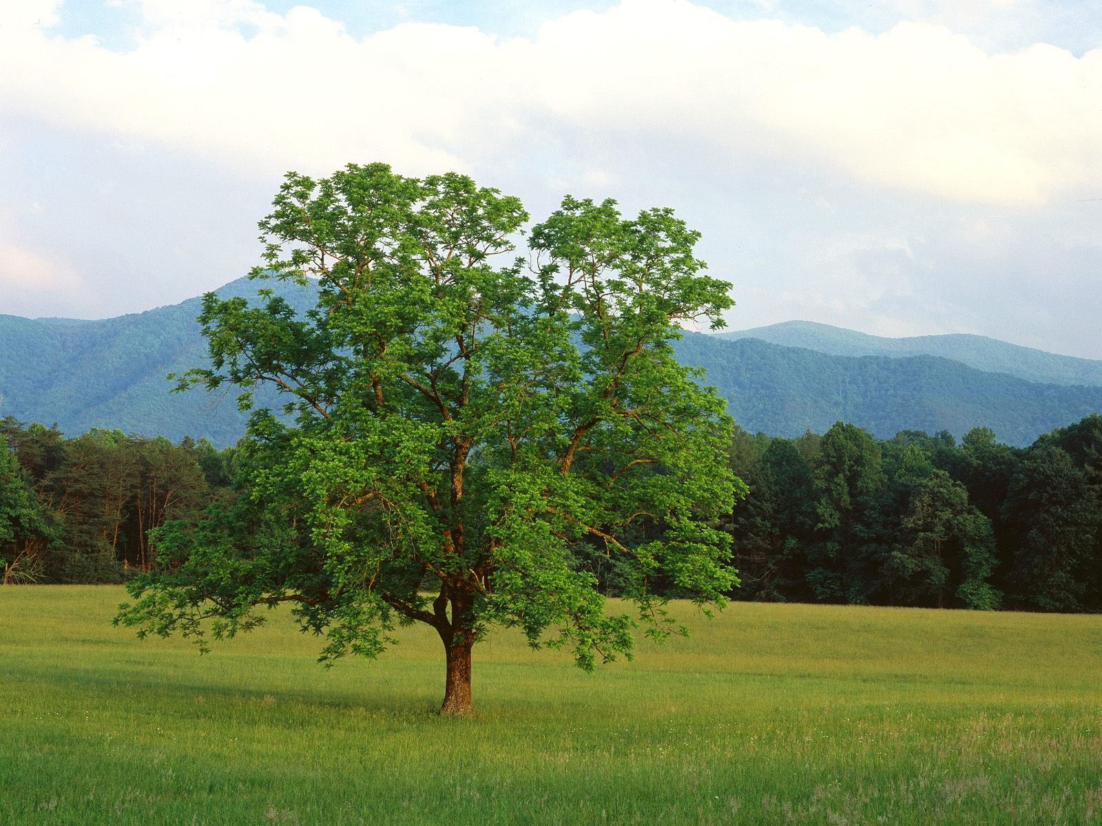 Walnut Tree Cades Cove Great Smoky Mountains National Park Tennessee