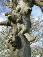 deformed limbs on mutated tree