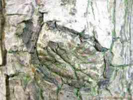 scarred bark