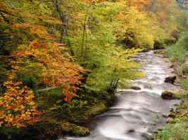 Beech Trees Along the Saliencia River Somiedo Natural Park Asturias Spain